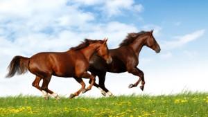 endurance horses